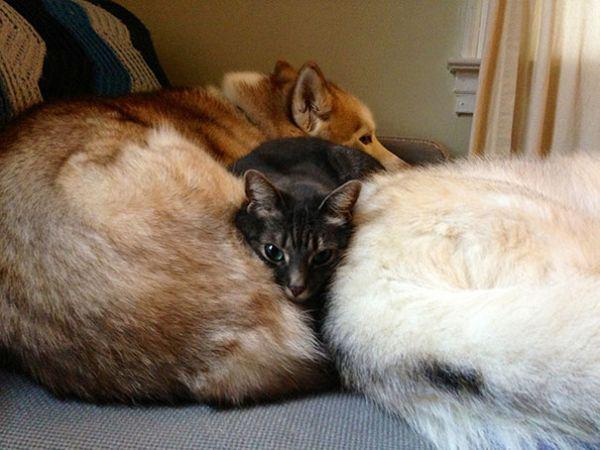 cats-using-dogs-as-pillows-21-photos-1