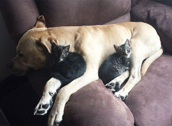 cats-using-dogs-as-pillows-21-photos-11