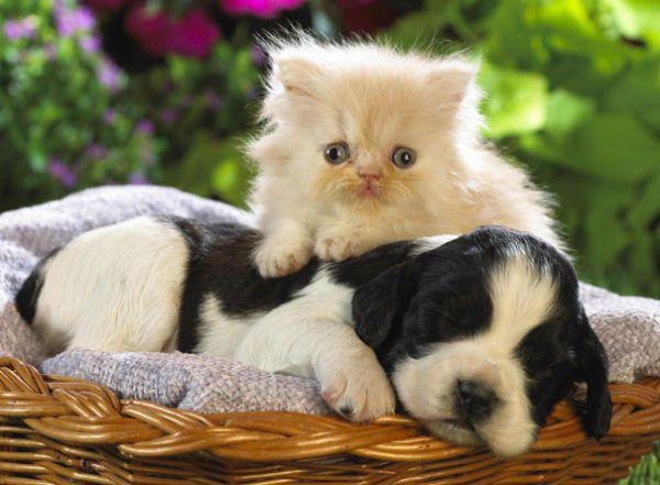 cats-using-dogs-as-pillows-21-photos-12