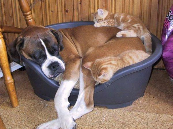 cats-using-dogs-as-pillows-21-photos-13