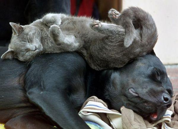 cats-using-dogs-as-pillows-21-photos-14
