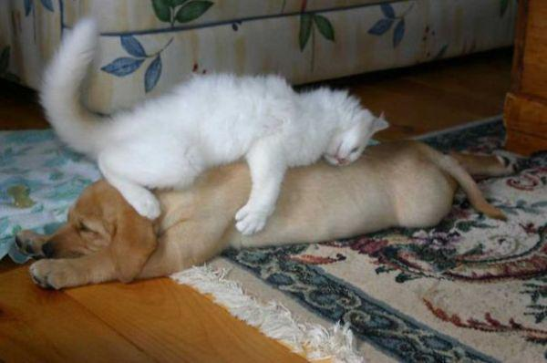 cats-using-dogs-as-pillows-21-photos-15