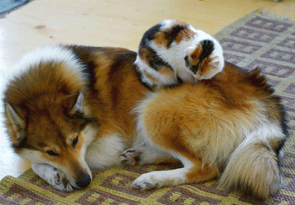 cats-using-dogs-as-pillows-21-photos-16