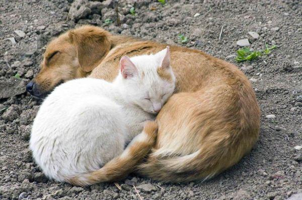 cats-using-dogs-as-pillows-21-photos-17