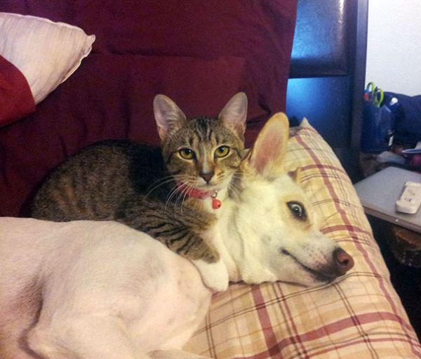cats-using-dogs-as-pillows-21-photos-18