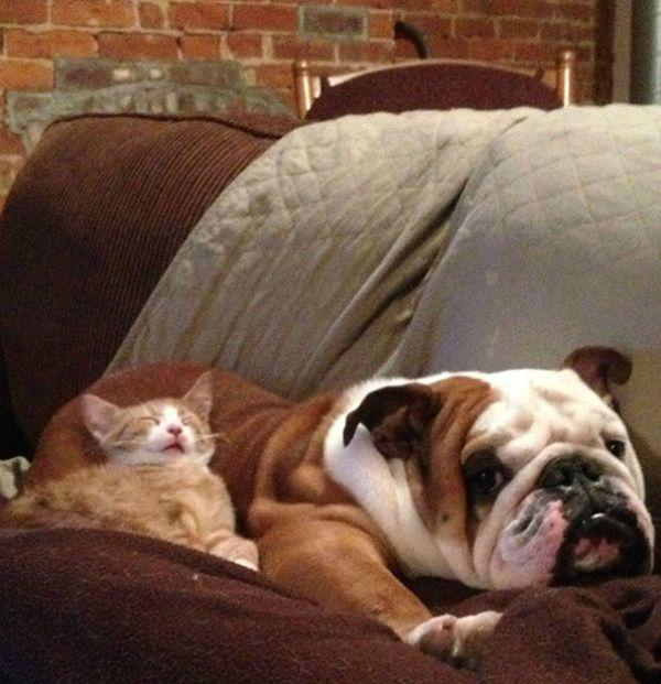cats-using-dogs-as-pillows-21-photos-20