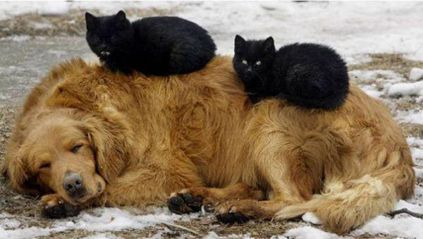 cats-using-dogs-as-pillows-21-photos-3