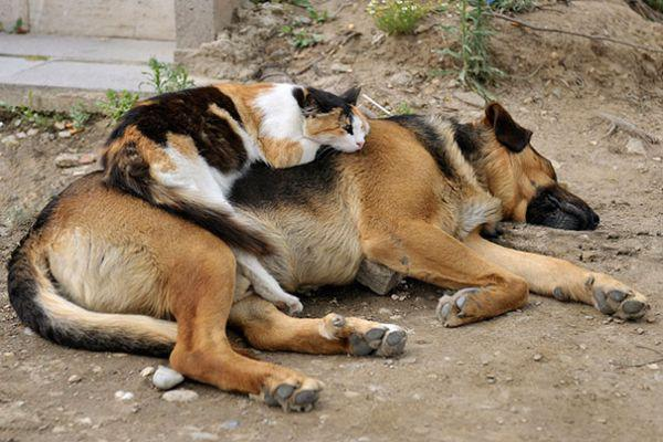 cats-using-dogs-as-pillows-21-photos-4
