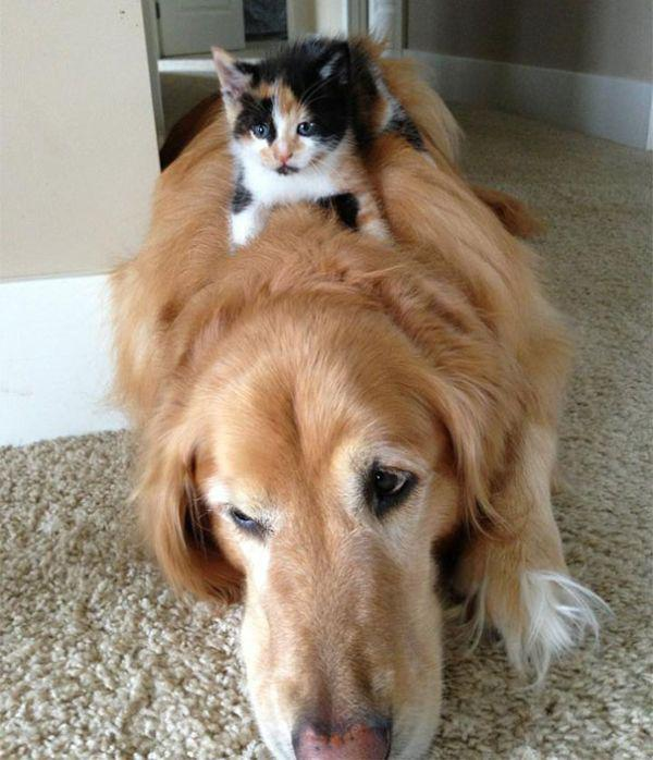 cats-using-dogs-as-pillows-21-photos-5