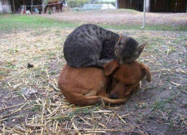 cats-using-dogs-as-pillows-21-photos-7