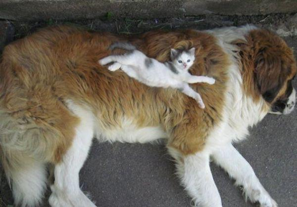 cats-using-dogs-as-pillows-21-photos-8