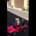 車のおもちゃを運転する犬、となりの少年も上機嫌。[Dog drives little Boy in car…..Daisy Driving Oliver]